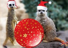 Funny Christmas card with meerkats